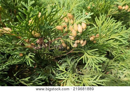 Branch of Thuja occidentalis with seed cones