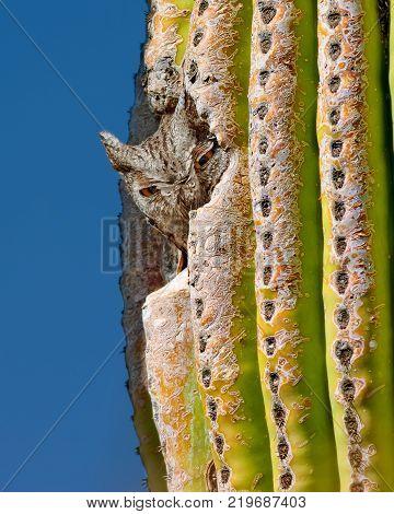 An Arizona Screech Owl peeking out of its Saguaro nest hollow.
