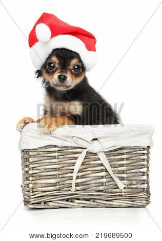 Puppy Chihuahua In Santa Red Hat Sits In A Wicker Basket On A White Background