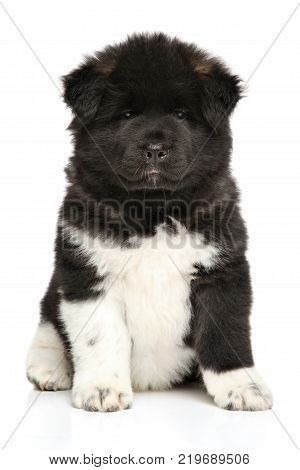 American Akita Dog Puppy On White Background