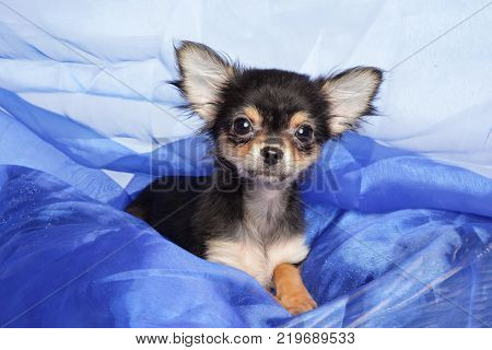 Chihuahua Puppy In A Blue Blanket