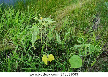 Velvetleaf Abutilon theophrasti, also called velvetweed, Chinese jute, China jute, buttonweed, butterprint, pie-marker, or Indian mallow, blooms in Joliet, Illinois during July.