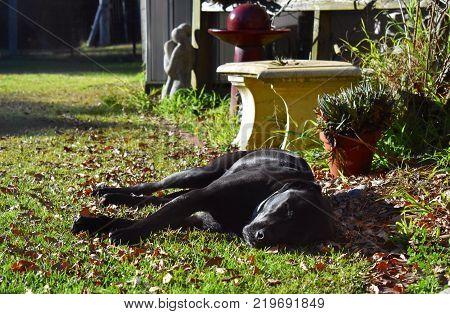 A black Labrador x American Bulldog resting in the sun