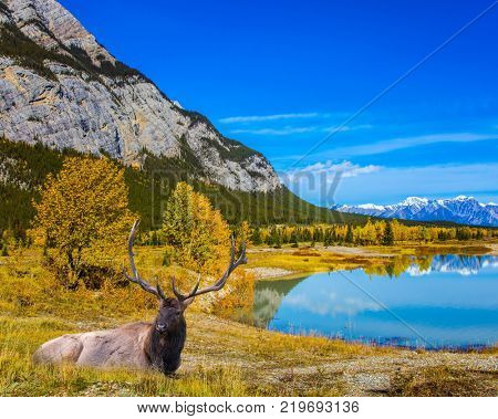 Noble Canadian deer with branched horns rest on the shore of Abraham Lake. The Rockies of Canada. Concept of ecological and active tourism