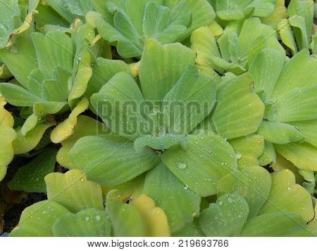 Duckweed plant background