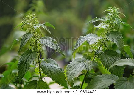 Close up of stinging nettle plant and leaves. Stinging nettles (Urtica dioica) growing in a field, a healthy wild food and a herbal tea.
