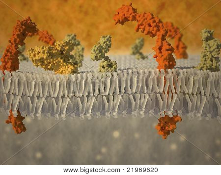 Plasma Membrane Of A Cell With Associated Proteins