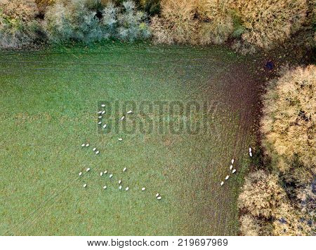 Sheep grazing livestock farm field rural countryside aerial photo