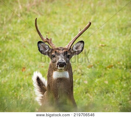 Whitetail deer with odd antlers, cull buck portrait