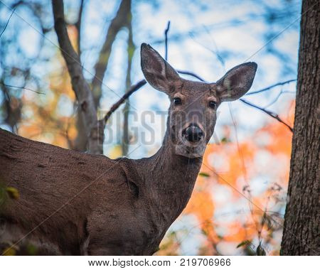 Whitetail doe deer in fall forest up close