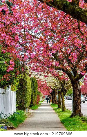 a footpath in the city with a blooming red cherry blossom and trees with white flowers. A guy and a girl are walking away cars are driving down the street green grass and bushes of greenery on the fence.