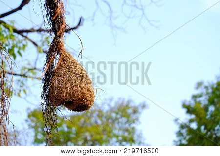 Brown dried grass of a weaver bird nest hanging on the top tree with blue sky and green nature background