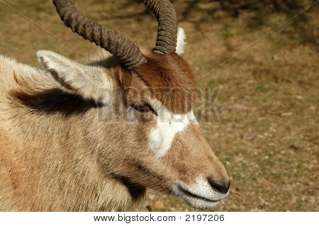 Ram Or Goat With Horns