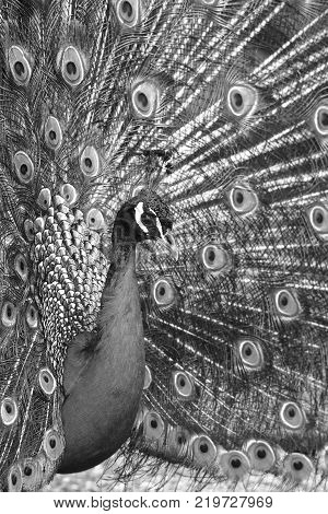 peacock. Beautiful spread of a peacock. beautiful peacock bird. A beautiful male peacock with expanded feathers.
