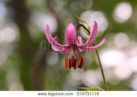 Lilium martagon (martagon lily). Lilium martagon (martagon lily or Turk's cap lily) is a Eurasian species of lily. It has a widespread native region extending from Portugal east through Europe and Asia as far east as Mongolia.