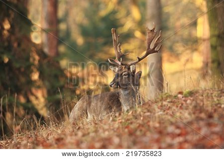 Fallow deer spotted. Photo was taken in the Czech Republic. Free nature. Beautiful animal image. Forest. Autumn colors.