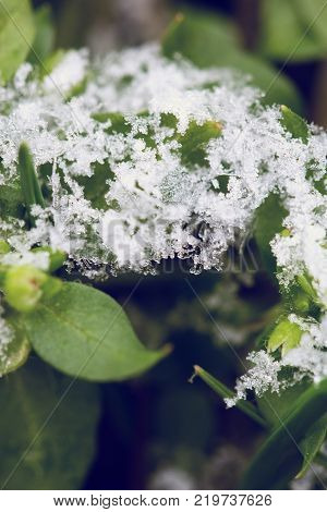 green leaf with hoarfrost. hoarfrost on green grass. Hoarfrost crystals on green cereal grass - early winter background
