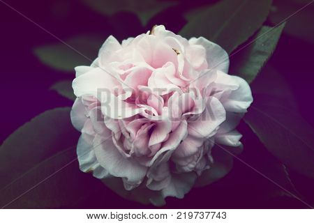 Pink Flower Background. Pink Flower Camellia japonica 'Betty Sheffield Pink'. Pink Camellia flower beautiful pink flower with blooming in the garden