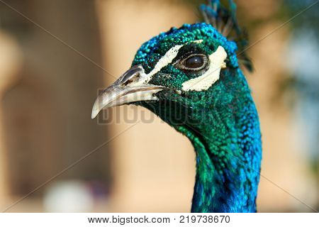 Peacock's Head. The peafowl include three species of birds in the genera Pavo and Afropavo of the Phasianidae family, the pheasants and their allies.