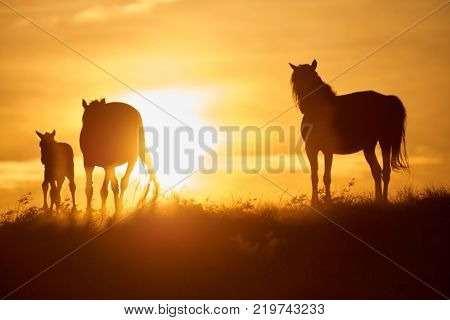 Horses graze on pasture at sunset.