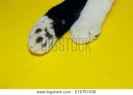 Black and White, Animal Concept. Two Cat`s Paws on Yellow Background. Cat`s Paw.