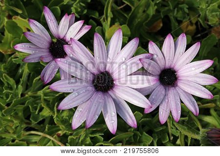 Three pink cape daisy (Osteospermum) flowers with darker pink, almost purple, in the petal stripes, petal tips and centre. Raindrops on the petals. Leaves of the plant as background.