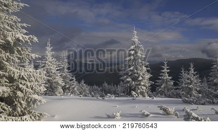 Illuminated fir-trees and snow covered meadow in foreground. Dark mountains and sky in background.