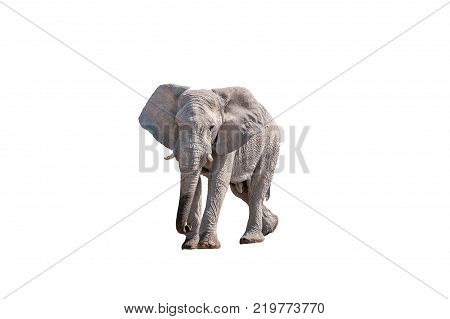 An African elephant Loxodonta africana isolated on white in Northern Namibia