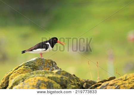 Haematopus ostralegus. Mid-sized bird. Taken in Norway. Runde Island. Wildland of Norway. Wild nature. Beach by the sea. Bird on the stone. Bird on a green background.