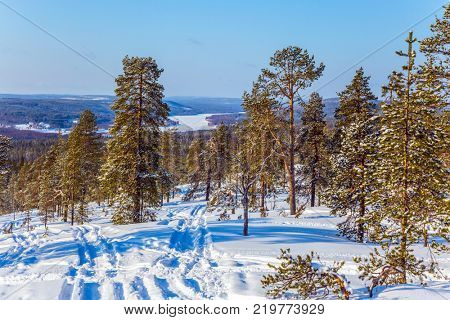The Polar Circle. Sparse coniferous forest in the snow. In the lush snow ski trails. The concept of exotic and extreme travel