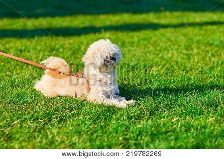 Portrait of a bichon frieze close-up the dog lies on the grass