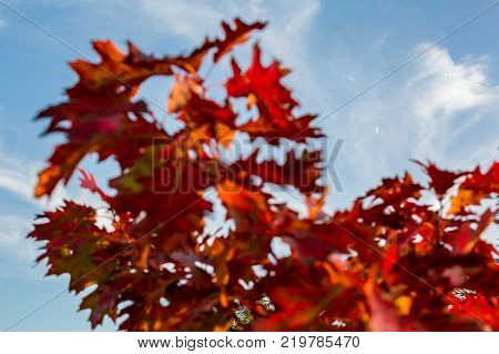 Half Moon in a frame of blurred oriental plane tree, Platanus Orientalis, red autumn leaves with blue sky with light clouds