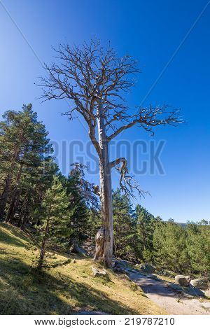 great trunk of ancient dead pine tree with terrifying branches in Navacerrada mountain Guadarrama Natural Park Madrid Spain