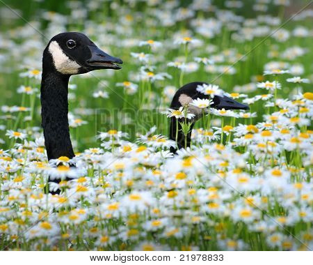 Canadian Geese Walking Through A Field Of Daisies And Chrysanthemums