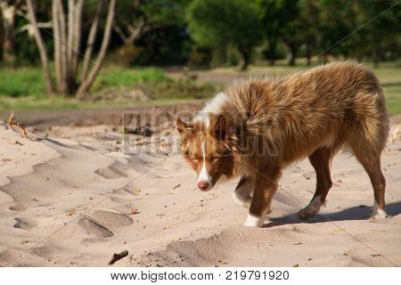 beautiful mongrel dog crosses Siberian walking through the park