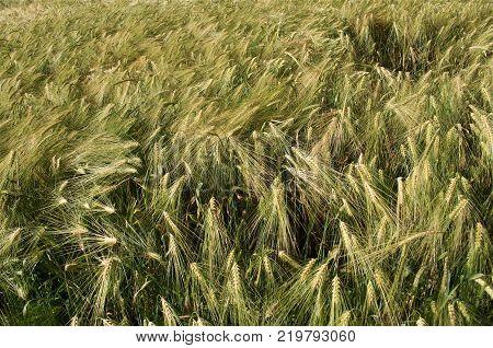 Field corn rye in Norway in September