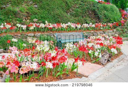 Beautiful Amarilis flower blooming mix colros in garden with bench in wood paint green background green grass climbing on small hill.