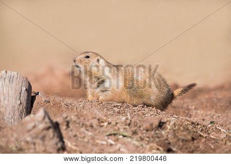 Black-tailed prairie dog on mound of dirt