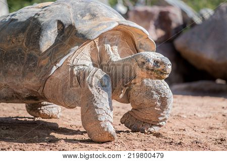 Giant desert tortoise walking through sandy desert