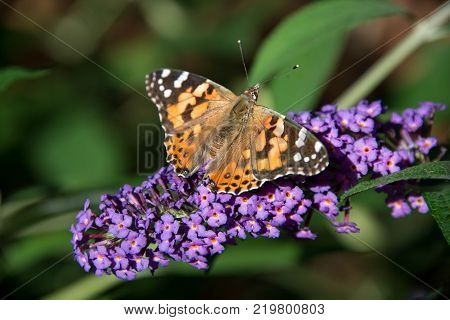 Painted Lady Butterfly on blooming purple butterfly bush