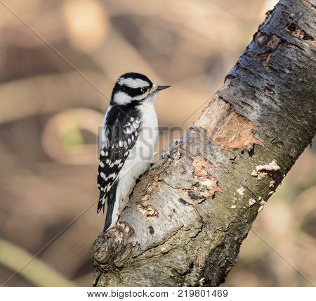 A female Downy Woodpecker (Dryobates pubescens), the smallest North American woodpecker, shown in profile on a tree, in York County Pennsylvania, USA.