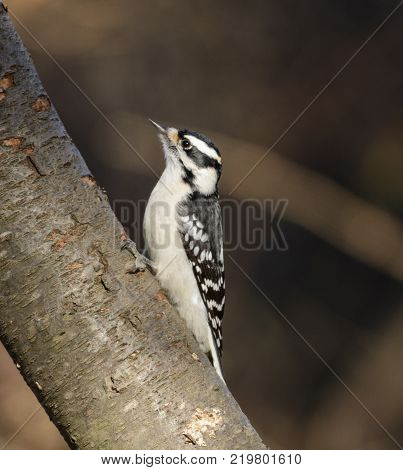 A female Downy Woodpecker (Dryobates pubescens), the smallest North American woodpecker, shown in left profile on a tree, in York County Pennsylvania, USA.
