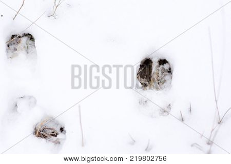 fresh whitetail deer tracks in the bright white snow.