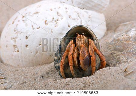 Caribbean Hermit Crab (Coenobita clypeatus) on the beach