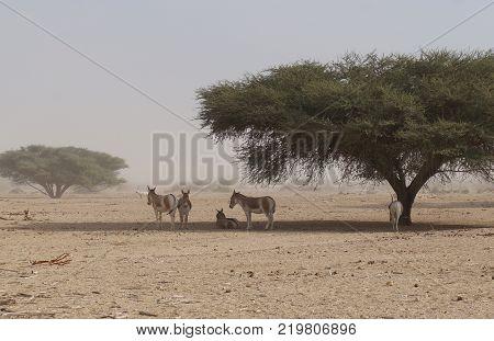 Wild donkey and antelope Addax (Addax nasomaculatus) were introduced from Sahara desert.