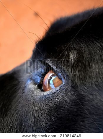 A close up of a black Labrador's eye