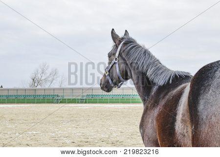 The horse walked around the stadium. Rideable horse.