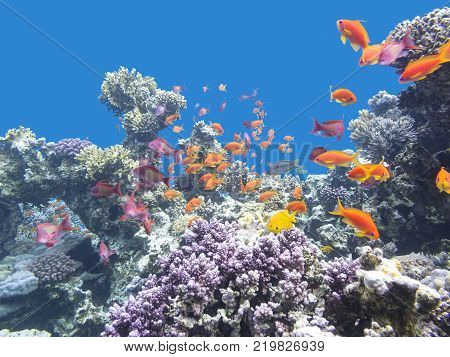Colorful coral reef with shoal of fishes scalefin anthias at the bottom of tropical sea underwater