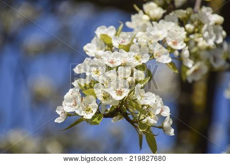Blooming wild pear in the garden. Spring flowering trees. Pollination of flowers of pear. poster