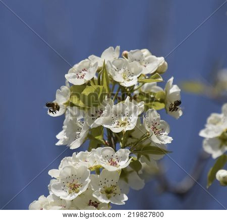 Pollination of flowers by bees pears. White pear flowers is a source of nectar for bees. Pollination of fruit trees.